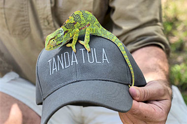 Chameleon Tanda Tula Safari Camp Timbavati Game Reserve Mpumalanga Luxury South African Safari