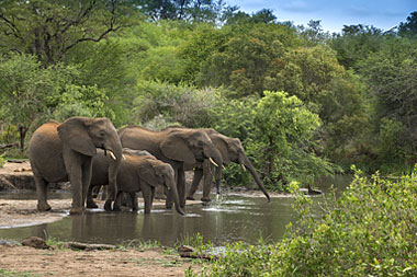 Elephant Herd Waterhole Big Five Tanda Tula Field Camp Timbavati Game Reserve Luxury South African Safari